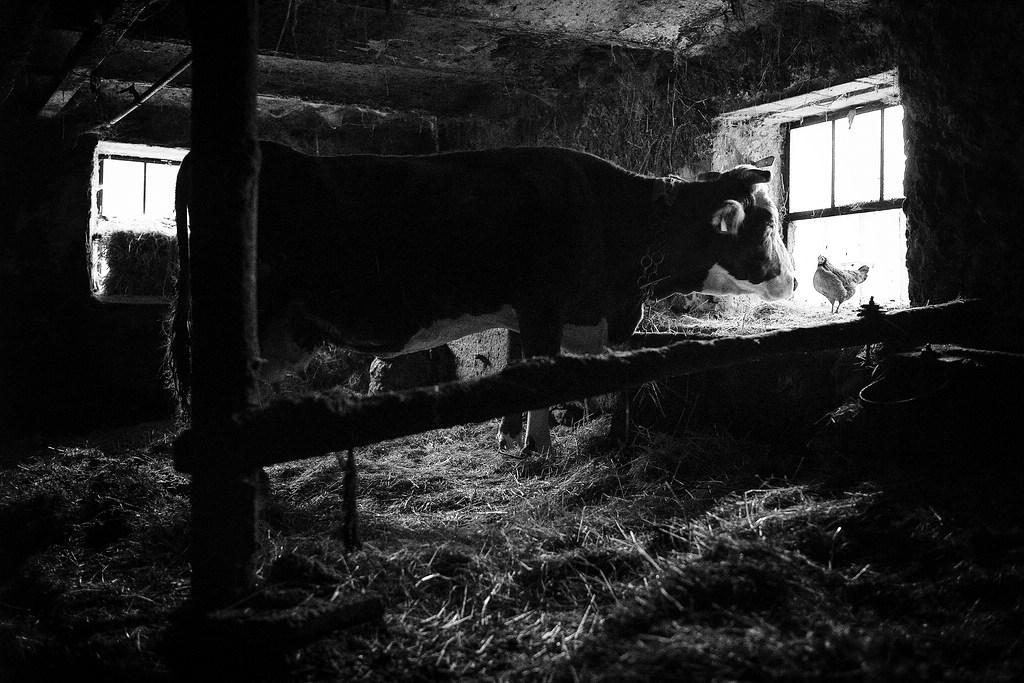 """© Stefan Winkelhöfer. Aus der Serie """"Hans"""". Kuh im Stall"""