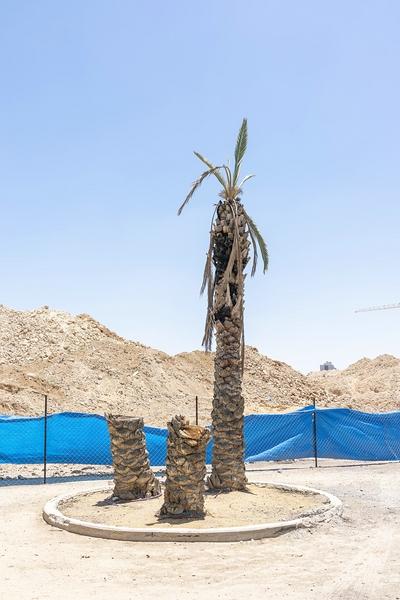Bild von Sharon Ya'ari: 1 Palme und 2 Palmenstümpfe in sandiger Umgebung vor Windfangzaun aus Machendraht und blauer Folie